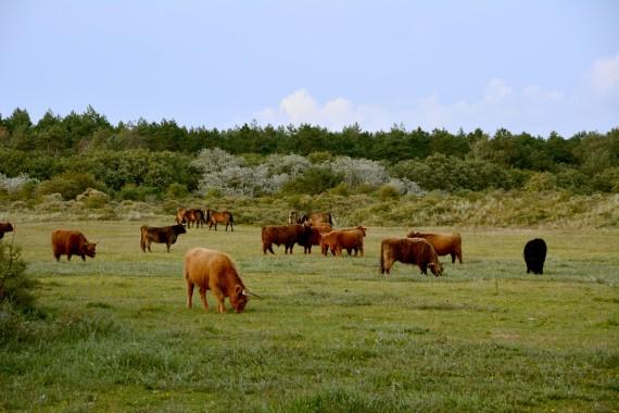 schottische Hochlandrinder Pferde Kennemerland