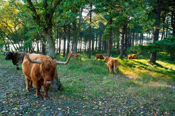KDC_schotse_hooglander_duinen_nationaal_park.jpg