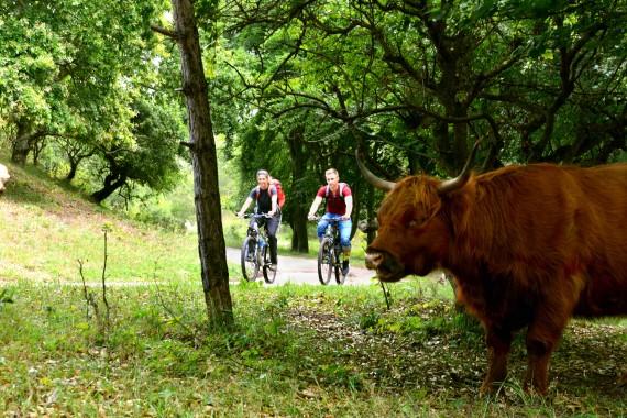 fahrradfahren schottisches hochlandrind wald kennemerland