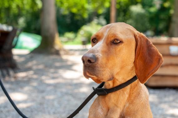 großer Hund Geversduin